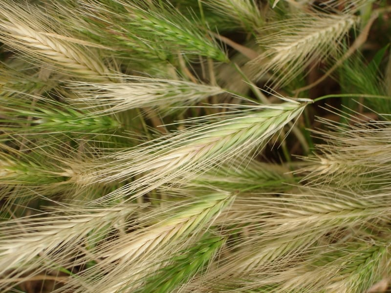 Foxtails And Your Pet