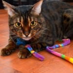 Copper Bengal Cat Playing With String 150×150