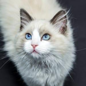 Cat Grooming Tempe